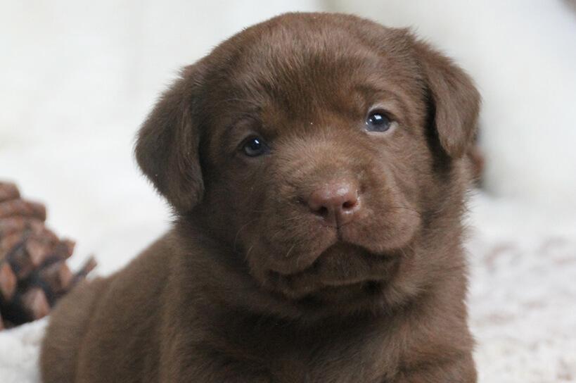 Brauner Labrador Welpen